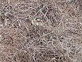 Danaus chrysippus 0002.jpg