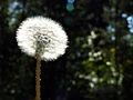 Dandelion-0120.jpg