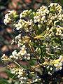 Daphne gnidium-SierraMadrona2.jpg