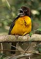 Dark-backed weaver, Ploceus bicolor, also known as the forest weaver at Ndumo Nature Reserve, KwaZulu-Natal, South Africa (28885343206).jpg
