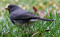 Dark-eyed Junco-27527-2.jpg