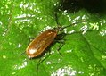 Darkling beetle (RL) (5882440826).jpg