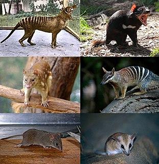 Dasyuromorphia Taxon of carnivorous marsupials