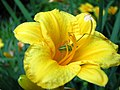 Daylily guest - panoramio.jpg