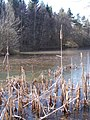 Dead Bullrushes and Frozen Lake, Dymock Forest - geograph.org.uk - 131770.jpg