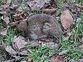 Dead furry animal - geograph.org.uk - 1181840.jpg