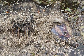 Maggot - Maggots feeding on an opossum carrion