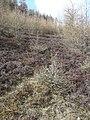 Deer damaged trees - geograph.org.uk - 765517.jpg