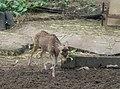 Deer in Zoo Negara Malaysia (18).jpg