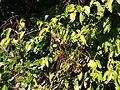 Deeringia amaranthoides foliage and fruit.jpg