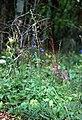 Delphiniumalabamicum.jpg