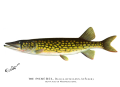 Denton Pickerel MA 1896.png