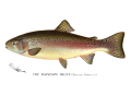 Denton Rainbow Trout 1896.png