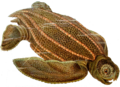 Dermochelys coriacea Haeckel.png