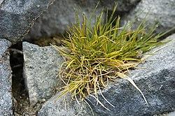 Deschampsia antarctica.jpg