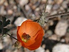Desert GlobemallowSphaeralcea ambigua var. ambigua