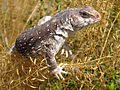 Desert iguana (Dipsosaurus dorsalis) (14232298555).jpg