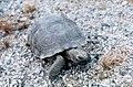 Desert tortoise (26251723704).jpg