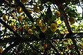 Dettaglio piante di limoni.jpg