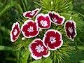Dianthus-barbatus.jpg