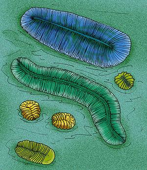 Proarticulata - Several proarticulates