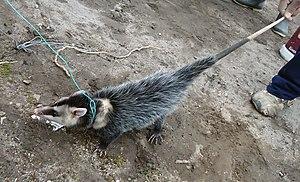 Andean white-eared opossum - Image: Didelphis pernigra crop