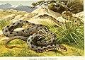 Die Reptilien und Amphibien mitteleuropas (1912) (20916264456).jpg