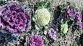 Different colours of Kale Flower (Brassica oleracea).jpg