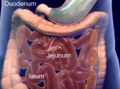 Digestive tract diagram.png