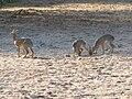 Dik-Dik, family, Lake Manyara.jpg