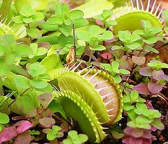 Droseraceae - Venus flytrap (Dionaea muscipula)