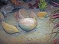 Diorama of a Pennsylanian seafloor - Derbyia brachiopods (45591879811).jpg