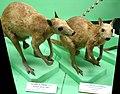Dorcopsis luctuosa (Dorcopsis veterum) - Museo Civico di Storia Naturale Giacomo Doria - Genoa, Italy - DSC02940.JPG