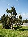 Dornbirn-Ammenegg-Juniperus communis-03ASD.jpg