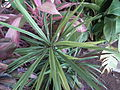 Dracaena broad leaved from lalbagh 2213.JPG