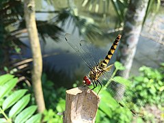 Dragonfly drying itself after rain.jpg