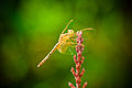 Dragonfly of the Rain Forest (4149223702).jpg