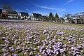 Drebacher Krokuswiesen..2H1A0800WI.jpg