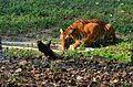 Drinking Tiger.jpg