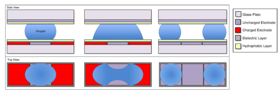 A droplet being split in a digital microfluidic device. Initially, the droplet's has a shape like a spherical section. The charged electrodes on either side pull the droplet in opposite directions, causing a bulb of liquid on either end with a thinner neck in the middle, not unlike a dumbbell. As the ends are pulled, the neck becomes thinner and when the two sides of the neck meet, the neck collapses, forming two discrete droplets, one on each of the charged electrodes.
