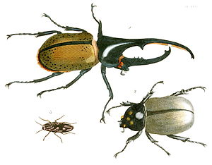 "Insecta in the 10th edition of Systema Naturae - Scarabaeus hercules (now Dynastes hercules) was the first species in Linnaeus' class ""Insecta""."