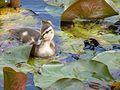 Duckling (6126884855).jpg