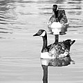 Ducks, black and white (15453867275).jpg