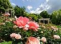 Duftende Schönheit, der Rosengarten im Kurpark Bad Mergentheim. 15.jpg