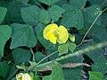 Dunbaria villosa2.jpg