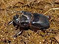 Dung Beetle (Copris sp.) (13625716124).jpg