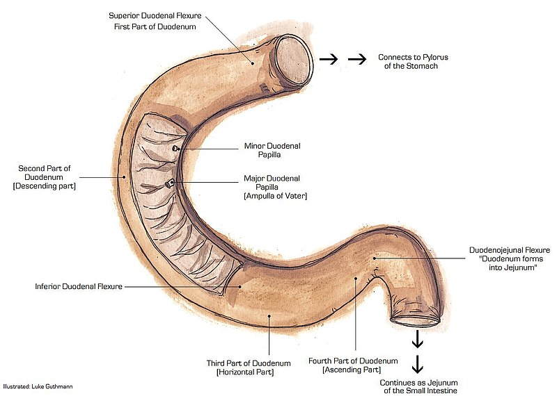 anatomi usus halus bagian usus dua belas jari duodenum