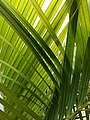 Dypsis lutescens (Family Arecaceae) - leaves.jpg