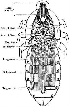 EB1911 Hexapoda - Ventral Muscles and Nerve Cord of Cockroach.jpg