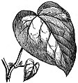 EB1911 Ivy - Fig. 2.—Hedera colchica.jpg